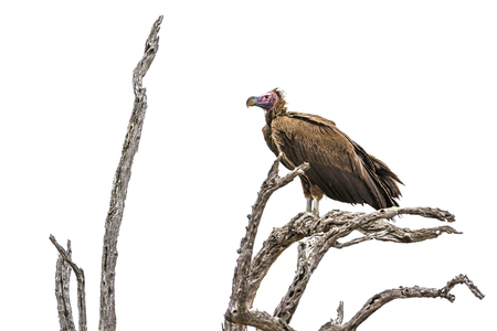 Lappet-faced vulture in Kruger National Park, South Africa; Specie Torgos tracheliotos family of Accipitridae