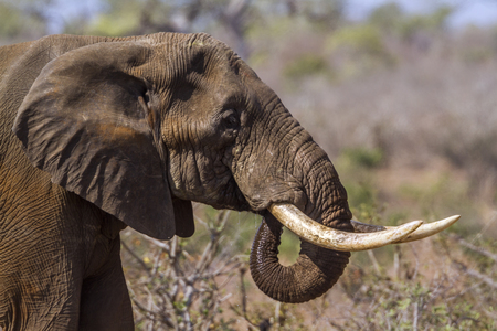 profile: African bush elephant in Kruger National Park, South Africa; Specie Loxodonta africana family of Elephantidae