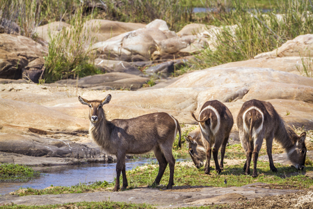 Common waterbuck in Kruger National Park, South Africa; Specie Kobus ellipsiprymnus family of bovidae