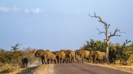 African bush elephant in Kruger National Park, South Africa; Specie Loxodonta africana family of Elephantidae Stok Fotoğraf - 83472377