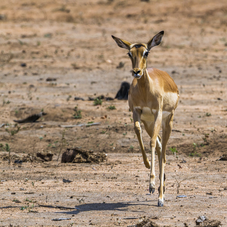 hoofed: Common impala in Kruger National Park, South Africa; Specie Aepyceros melampus family of Bovidae