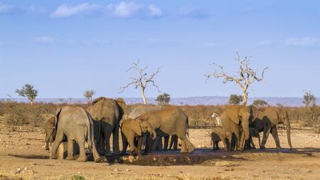 アフリカのブッシュゾウ クルーガー国立公園、南アフリカ。ゾウ科の正貨 Loxodonta アフリカーナ家族