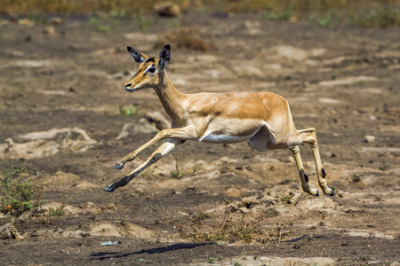 Common impala in Kruger National Park, South Africa; Specie Aepyceros melampus family of Bovidae