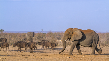 African bush elephant in Kruger National Park, South Africa; Specie Loxodonta africana family of Elephantidae