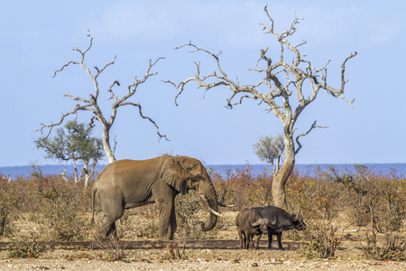 African bush elephant and African buffalo in Kruger National Park, South Africa; Specie Loxodonta africana and Syncerus caffer