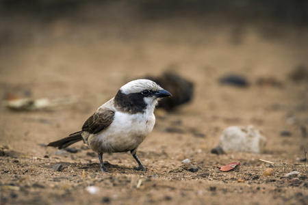 White-crowned shrike in Kruger National Park, South Africa; Specie Eurocephalus anguitimens family of Laniidae