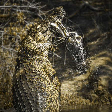 zimbabwe: Nile crocodile in Kruger National Park South Africa; Specie Crocodylus niloticus family of Crocodylidae Foto de archivo