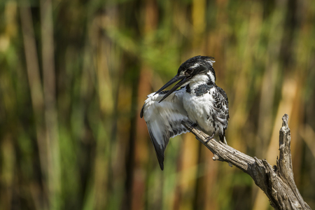 Foot kingfisher in Kruger National Park South Africa; Specie Cercy rudis family of Alcedinidae