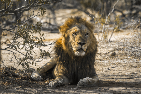 African lion in Kruger National Park South Africa; Specie Panthera leo family of Felidae