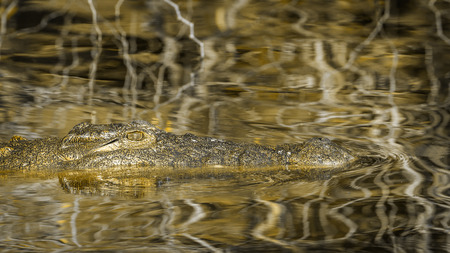 Nile crocodile in Kruger National Park, South Africa; Specie Crocodylus niloticus family of Crocodylidae Stock Photo