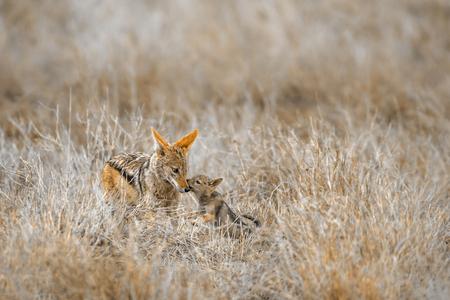 Black-backed jackal in Kruger National Park, South Africa; Specie Canis mesomelas family of Canidae 写真素材