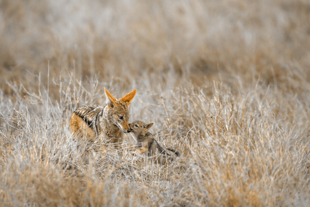 Black-backed jackal in Kruger National Park, South Africa; Specie Canis mesomelas family of Canidae 스톡 콘텐츠