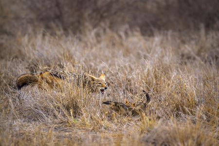 Black-backed jackal in Kruger National Park, South Africa; Specie Canis mesomelas family of Canidae Stock Photo
