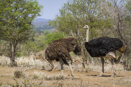 struthio camelus: African ostrich in Kruger National Park, South Africa; Specie Struthio camelus family of Struthionidae
