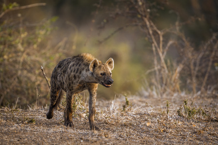 Spotted hyena in Kruger National Park, South Africa; Specie Crocuta crocuta family of Hyaenidae Stock Photo - 89110099