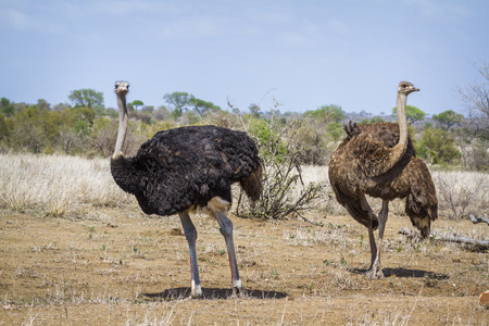 African ostrich in Kruger National Park, South Africa; Specie Struthio camelus family of Struthionidae