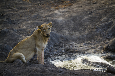 African lion in Kruger National Park, South Africa; Specie Panthera leo family of Felidae Stock Photo