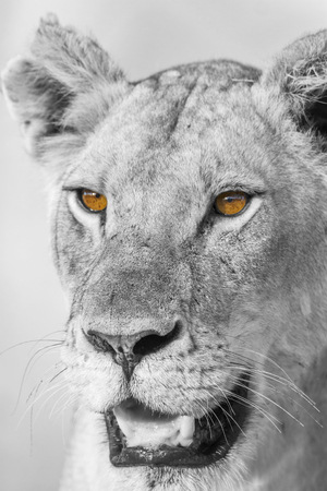 African lion in Kruger National Park, South Africa; Specie Panthera leo family of Felidae 写真素材