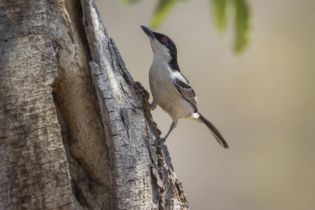 Black-backed puffback in Kruger National Park, South Africa; Specie Dryoscopus cubla family of Malaconotidae