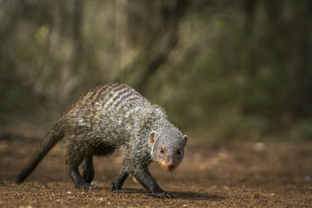 Banded Mongoose in Kruger National Park, South Africa; Specie Mungos mungo family of Herpestidae Stock Photo