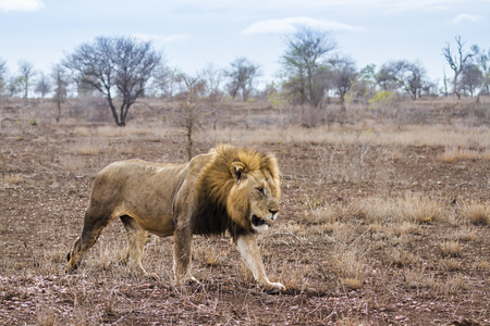 zimbabwe: African lion in Kruger National Park, South Africa; Specie Panthera leo family of Felidae Foto de archivo