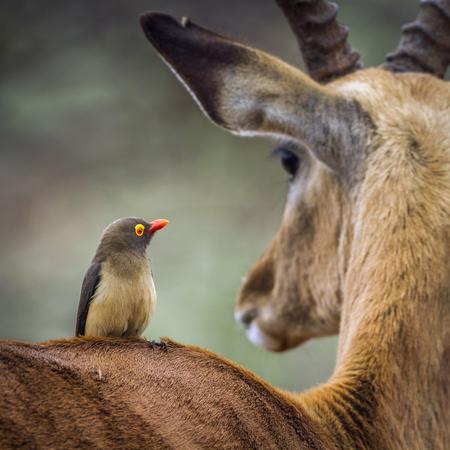 레드 청구 된 oxpecker 크루 거 국립 공원, 남아 프리 카 공화국; 종 Buphagus erythrorhynchus Buphagidae의 가족
