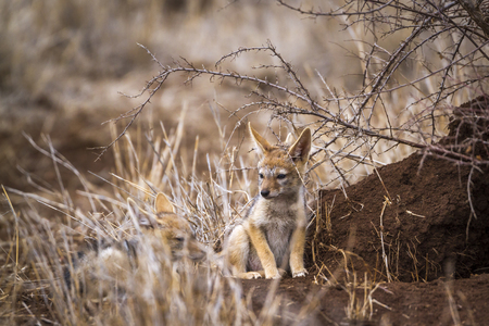 zimbabwe: Black-backed jackal in Kruger National Park, South Africa; Specie Canis mesomelas family of Canidae Foto de archivo