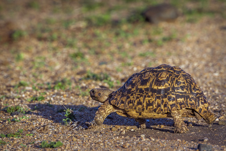 Tortoise leopard in Kruger national park, South Africa; Specie Stigmochelys pardalis family of Testudinidae