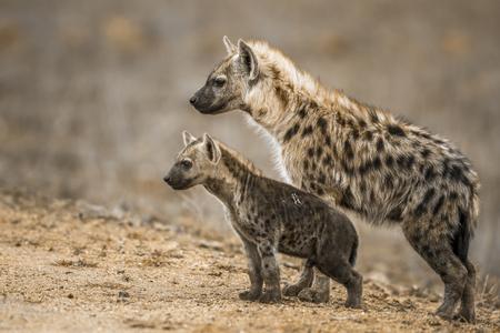 クルーガー国立公園、南アフリカ共和国のスポットハイエナ。正金 Crocuta Crocuta の Hyaenidae の家族