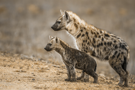 Spotted hyena in Kruger National Park, South Africa; Specie Crocuta crocuta family of Hyaenidae Stock fotó - 89760342