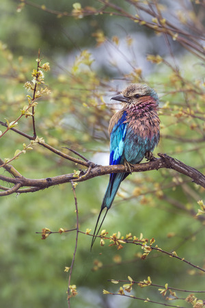 lillac: Lillac-breasted roller in Kruger National Park, South Africa; Specie Coracias caudatus family of Coraciidae