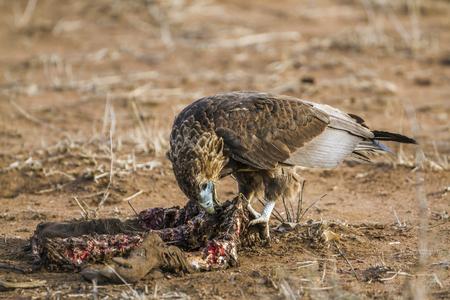 Bateleur eagle in Kruger National Park, South Africa; Specie Terathopius ecaudatus family of Accipitridae Stock Photo