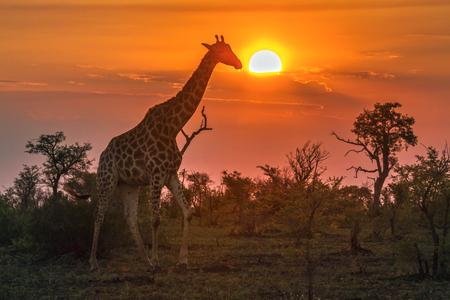 キリンのクルーガー国立公園、南アフリカ共和国;キリンの正貨キリン家族