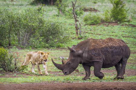 Southern white rhinoceros and African lion in Kruger national park, South Africa; Specie and Ceratotherium simum simum panthera leo