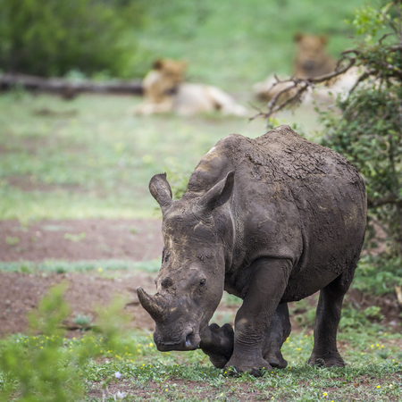 Southern white rhinoceros and African lion in Kruger national park, South Africa; Species Ceratotherium simum family simplex of Rhinocerotidae