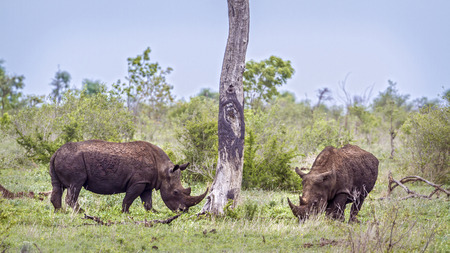 Southern white rhinoceros in the Kruger National Park, South Africa; Specie Ceratotherium simum simum family of Rhinocerotidae Stock Photo