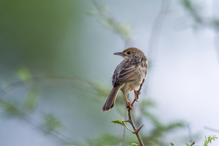 Rattling cisticola in Kruger National Park, South Africa; Specie Cisticola chiniana family of Cisticolidae
