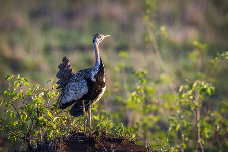 Black-bellied bustard in Kruger National Park, South Africa; Specie Lissotis melanogaster family of Otididae Stock Photo