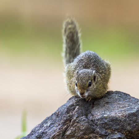 Smith bush squirrel in Kruger National Park, South Africa; Species Paraxerus cepapi family of Sciuridae