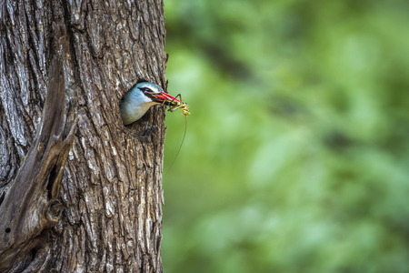 Woodland kingfisher in Kruger National Park, South Africa; Specie Halcyon senegalensis family of Alcedinidae