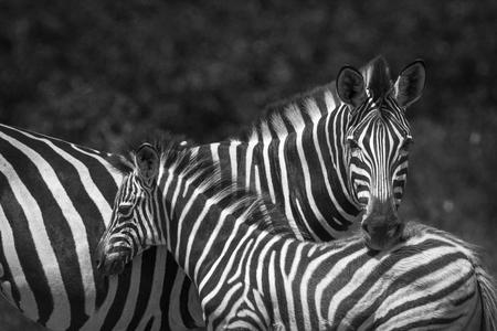 Plains zebra in Kruger National Park, South Africa; Specie Equus quagga burchellii family of Equidae