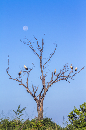 White stork in Kruger National Park, South Africa; Ciconia ciconia family specie of Ciconiidae Stock Photo