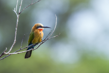 White-fronted bee-eater in Kruger National Park, South Africa; specie Merops bullockoides family of Meropidae