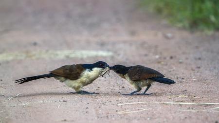 南アフリカのクルーガー国立公園のバーチェルのクーカル。キュクリダエのスペシー・チェントロプス・ブルチェリ家
