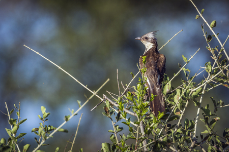 Levaillants cuckoo in Kruger National Park, South Africa; specie Clamator levaillantii family of Cuculidae Banco de Imagens