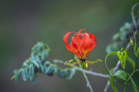 Flame lily wild flower in Kruger National Park, South Africa; Specie Gloriosa family of Colchicaceae