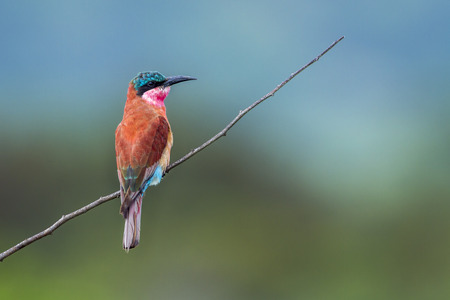Southern carmine bee-eater in Kruger National Park, South Africa; Species Merops nubicoides family of Meropidae
