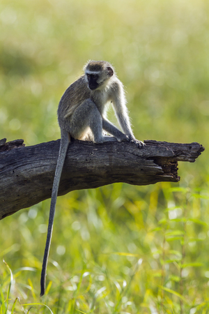 Vervet monkey in Kruger National Park, South Africa; Specie Chlorocebus pygerythrus family of Cercopithecidae