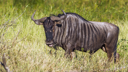 Blue wildebeest in the Kruger National Park, South Africa; Specie Connochaetes taurinus family of Bovidae Stock Photo