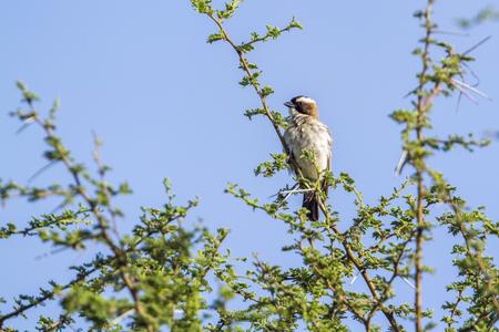 White-browed sparrow-weaver in Mapungubwe National Park, South Africa; Specie Plocepasser mahali family of Ploceidae Reklamní fotografie
